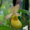 Yellow Lady's Slipper (Cypripedium pubescens) today at Eshqua Bog Natural Area, Vermont… May 27, 2014.