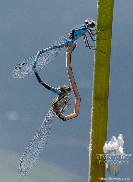 Northern Bluet (Enallagma cyathigerum)… June 7, 2014.