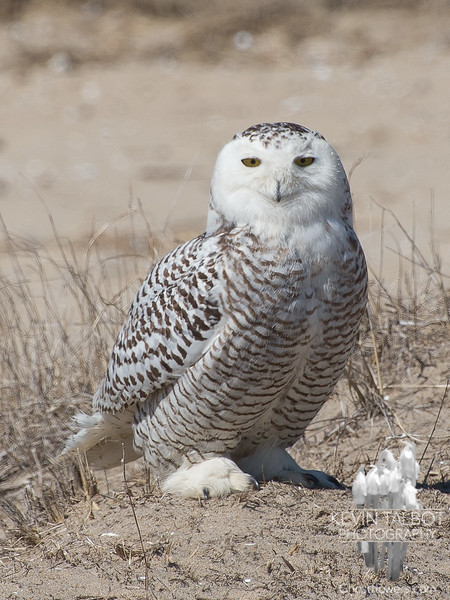 Still a few around- Snowy Owl (Nyctea scandiaca)… April 3, 2014.