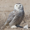 Still a few around- Snowy Owl (Nyctea scandiaca)… April 3, 2014.