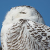 Snowy Owl (Nyctea scandiaca)… February 17, 2014.
