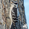 Downy Woodpecker (Picoides pubescens)… December 26, 2014.