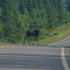 Yearling on Moose Alley- Moose (Alces laces)… July 13, 2014.