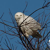 Snowy Owl (Nyctea scandiaca)… January 15, 2014.