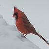 Cardinal (Cardinalis cardinalis)… February 13, 2014.