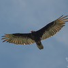 Turkey Vulture (Cathartes aura)… June 16, 2014.