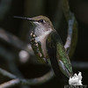 Ruby-throated Hummingbird (Archilochus colubris)… July 26, 2014.