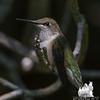 Ruby-throated Hummingbird (Archilochus colubris)… July 26, 2014.