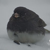 Snowbird-Darkeyed Junco (Junco hyemalis)… January 2, 2014.