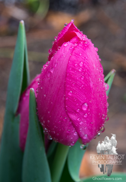 Tulip in my garden in this morning's rain… April 23, 2014.