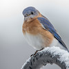 I will continue to consider this a good omen-Eastern Bluebird (Sialia sialis)… December 12, 2014.