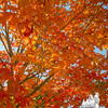 Maple tree on Kingston Plains… September 27, 2014.