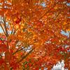 Maple tree on Kingston Plains… September 27, 2014.