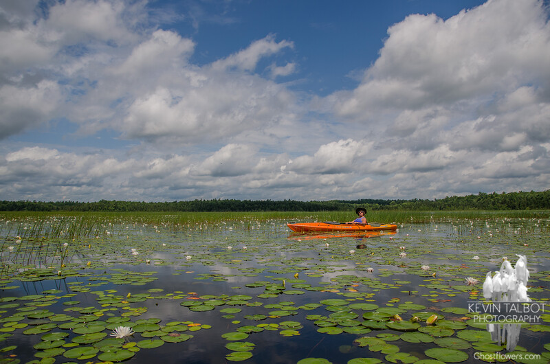 Judy paddling through Fragrant  Water Lily (Nymphaea odorata) on the Powow River… July 15, 2014.