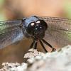 Eastern Pondhawk (Erythemis simplicicollis)… July 5, 2014.