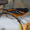 Yes, again - Baltimore Oriole (Icterus galbula)… May 10, 2014.