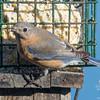 Still- Eastern Bluebird (Sialia sialis)… December 27, 2014.