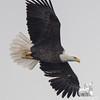 Bald Eagle (Haliaetus leucocephalus)… November 25, 2014.