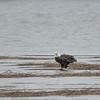 Today on the Powow-Bald Eagle (Haliaetus leucocephalus)… December 18, 2014.