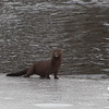 Mink (Mustela vison)… March 3, 2014.