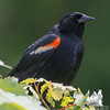 Red-winged Blackbird (Agelaius phoeniceus)… June 17, 2014.