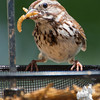 Busy feeding her young- Song Sparrow (Melospiza melody)… June 6, 2014.