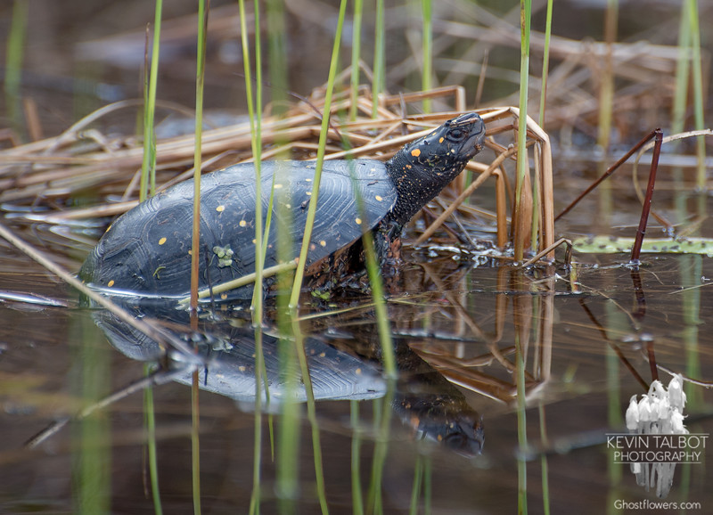 Spotted Turtle (Clemmys guttata)… May 1, 2014.
