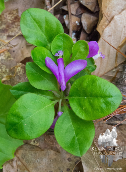 Fringed Polygala (Polygala paucifolia) today in Kingston Town Forest… May 22, 2014.