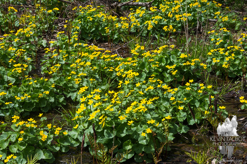 Marsh Marigolds (Caltha palustris)… May 6, 2014.