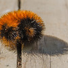 Wooly Bear Caterpillar (Pyrrharctia isabella)- Caterpillar of the Isabella Tiger Moth… September 19, 2014.