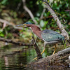 Today on the Exeter River- Green Heron (Butorides virescens)… August 30, 2014.