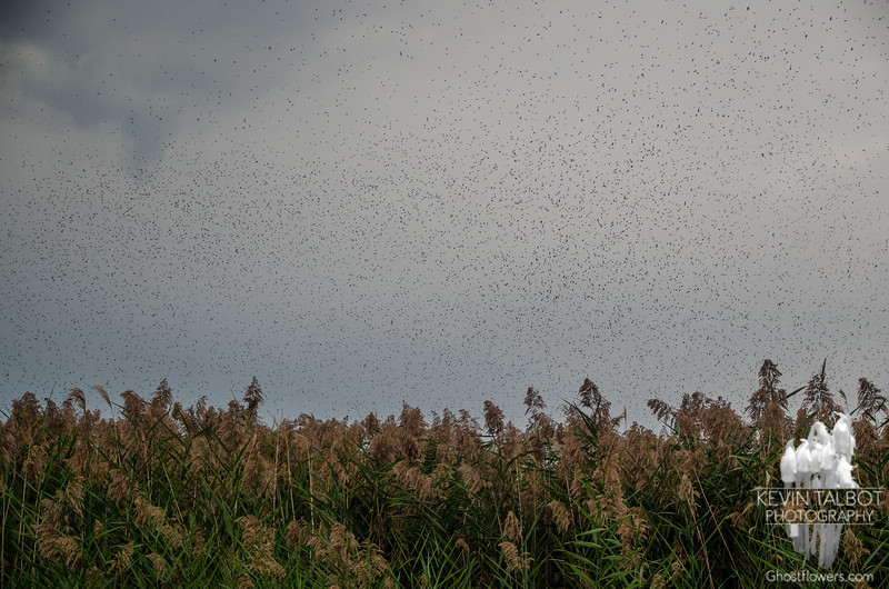 Tree Swallow (Iridoprocne bicolor) Multiply this by one thousand, yes, I'm talking millions… September 6, 2014.