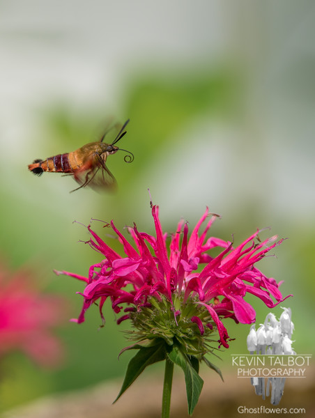 In the Bee-Balm today - Hummingbird Moth (Hemaris thysbe)… July 30, 2014.