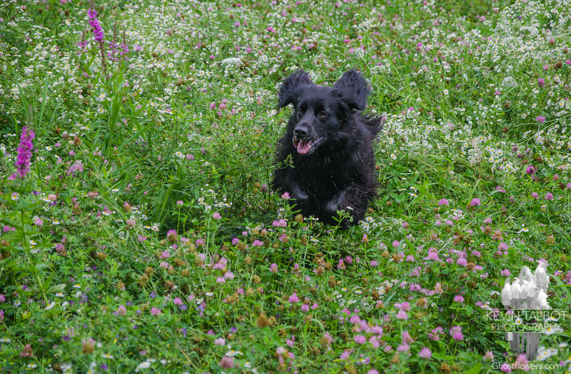 Stella bounding through the meadow at Battis Farm… August 15, 2014.