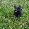 Stella bounding through the meadow at Battis Farm… August 15, 2014.