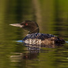 Sunset paddle-Common Loon (Gavia immer)… August 19, 2014.