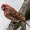 State bird dropped by today- Purple Finch (Carpodacus purpureus)… November 22, 2015.
