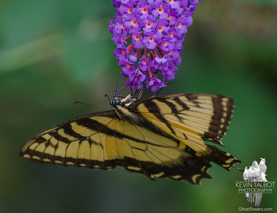 Glad to see an occasional butterfly showing up in our garden now- Eastern Tiger Swallowtail (Papilio glaucus)… August 28, 2015.