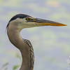 Great Blue Heron (Ardea herodias)… June 18, 2015.