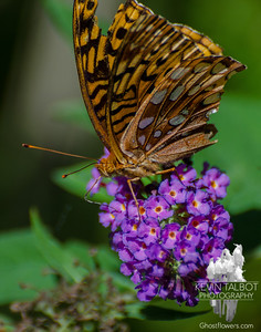 Surprised to find this today in our garden. Looks  quite weather beaten from recent storms or perhaps a run in with a hungry bird- Great Spangled Fritillary (Speyeria cybele)… August 27, 2015.