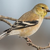 American Goldfinch (Carduelis tristis)… March 6, 2015.