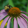 In the garden this morning- American Bumblebee (Bombus pennsylvanicus) on Purple Cone Flower (Echinacea purpurea Asteraceae)… July 23, 2015.