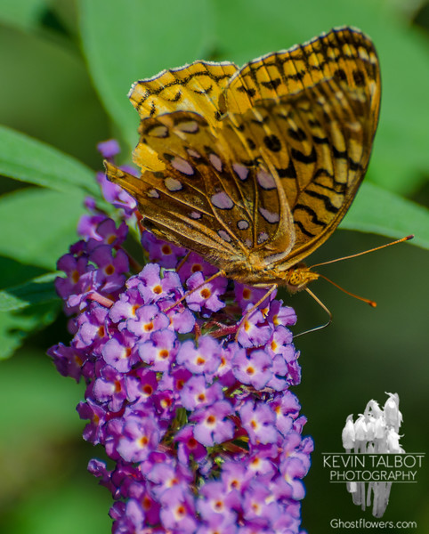 """""""The Survivor"""" was back today- Great Spangled Fritillary (Speyeria cybele)… August 29, 2015."""