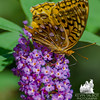 """The Survivor"" was back today- Great Spangled Fritillary (Speyeria cybele)… August 29, 2015."