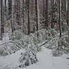 Red Pine (Pinus resinosa) after Spring snow- Webster Wildlife Preserve, Kingston, NH… April 9, 2015.