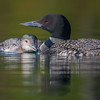 Meanwhile on Hatch Pond-Mother and youngest. Big brother has flown off with Papa-Common Loon (Gavia immer)… September 26, 2015.