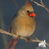 Late afternoon light on Mrs. Cardinal as she patiently awaits her turn at the feeder… February 16, 2015.