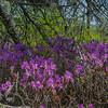 Rhodora (Rhododendron canadensis)… May 18, 2015.