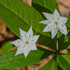 Starflower (Trientalis borealis)… May 13, 2015.