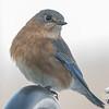 Eastern Bluebird (Sialia sialis)… February 17, 2015.